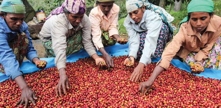 [Sri Lanka] Coffee industry in Sri Lanka flourishes thanks to women farmers
